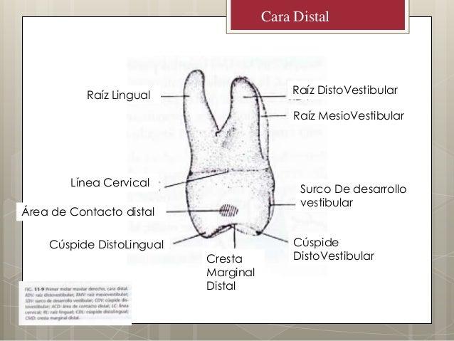 Anatomia Primer Molar Superior