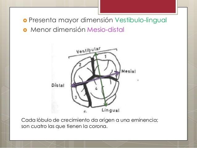  Presenta mayor dimensión Vestibulo-lingual Menor dimensión Mesio-distalCada lóbulo de crecimiento da origen a una emine...