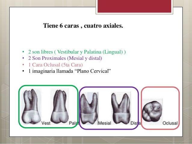 Tiene 6 caras , cuatro axiales.• 2 son libres ( Vestibular y Palatina (Lingual) )• 2 Son Proximales (Mesial y distal)• 1 C...