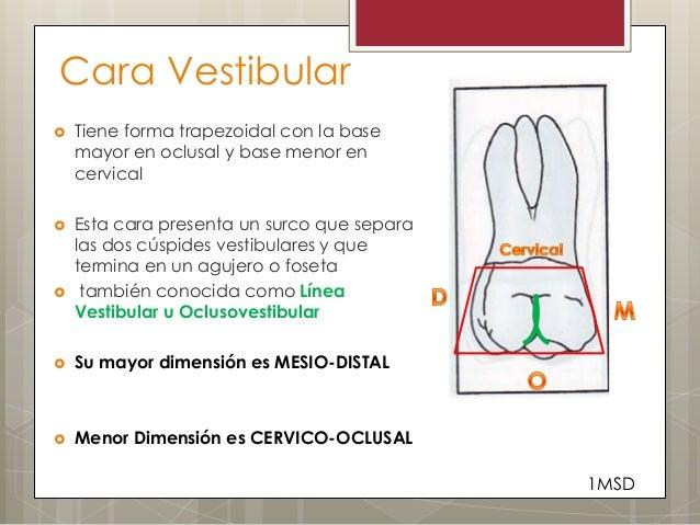 Cara Vestibular Tiene forma trapezoidal con la basemayor en oclusal y base menor encervical Esta cara presenta un surco ...