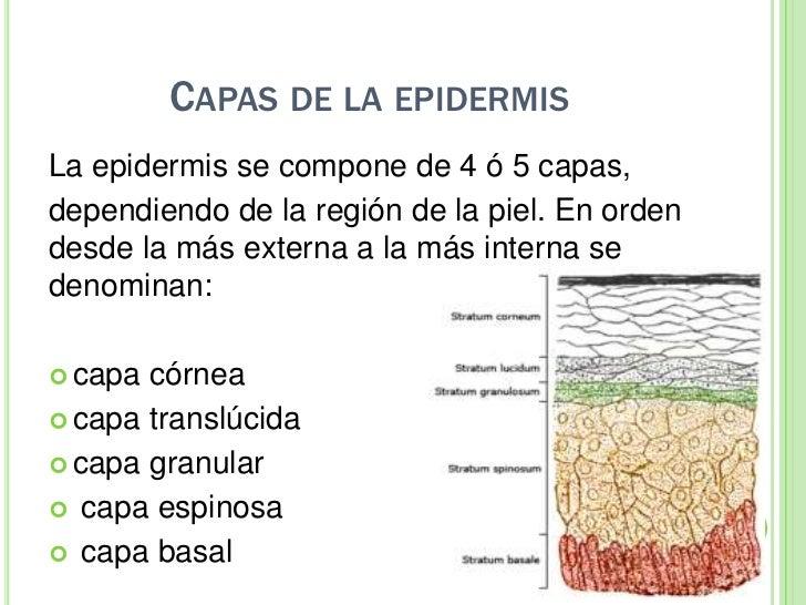 Magnífico La Capa Externa De La Piel Patrón - Anatomía de Las ...