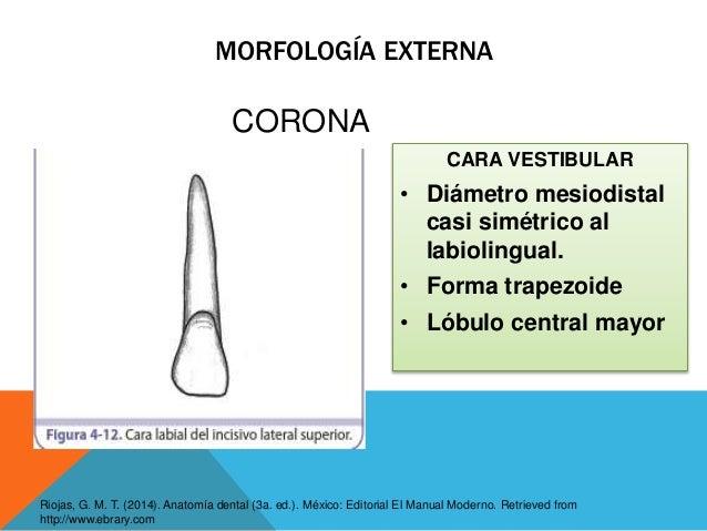 INCISIVOS SUPERIORES E INFERIORES - Anatomía, morfología y accesos en…