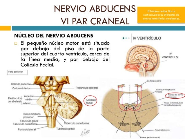 Anatom a del vi par craneal nervio abducens for Cuarto par craneal