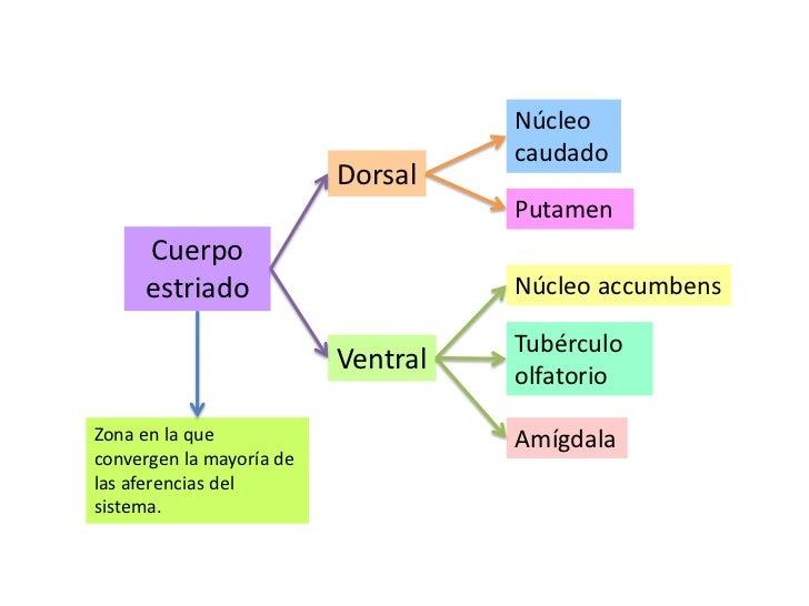 Núcleo caudado <br />Dorsal<br />Putamen <br />Cuerpo estriado<br />Núcleo accumbens<br />Tubérculo olfatorio<br />Ventral...