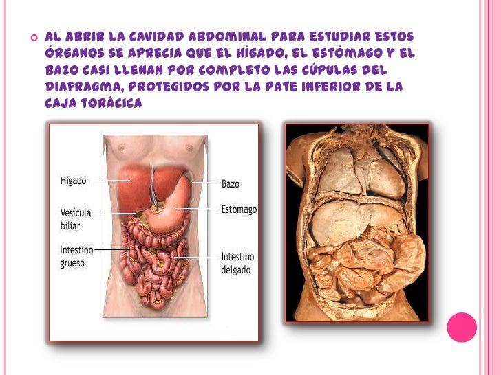 Dorable Anatomía De La Cavidad Abdominal Ilustración - Anatomía de ...
