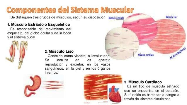 Exposición del sistema muscular
