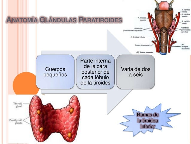 Hipo e hiperparatiroidismo Slide 2