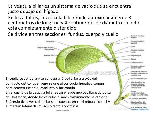 Exposicion anatomia microscopica de la vesicula biliar y conductos b…