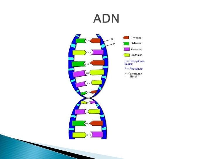Resultado de imagen para adn