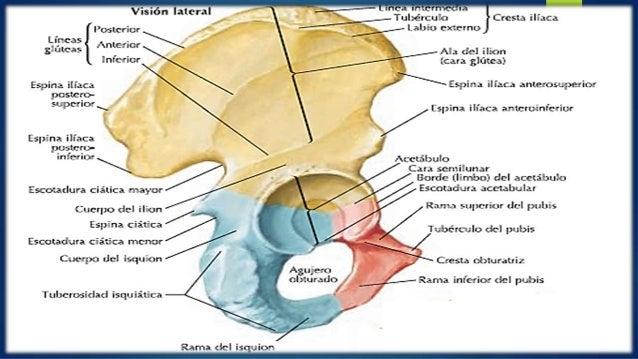 Exposición anatomia huesos de la cintura pelviana coxal sacro art cox…