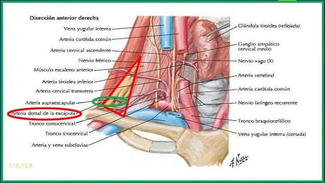 Exposición anatomia subclavia