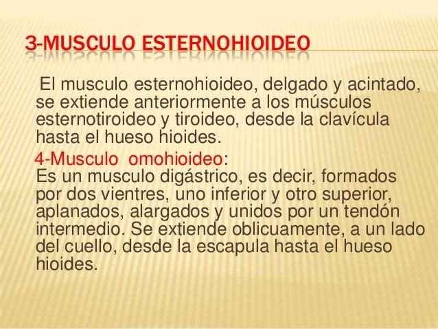 El sistema muscular for Esternohioideo y esternotiroideo
