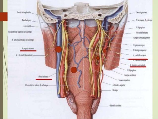 La Faringe: Embriologia ,Anatomia y Fisiologia (Otorrinolaringologia )