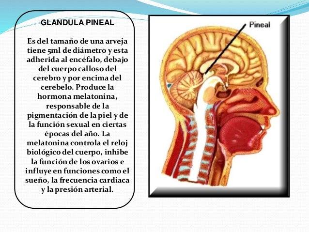 Exposición del Sistema Endocrino.