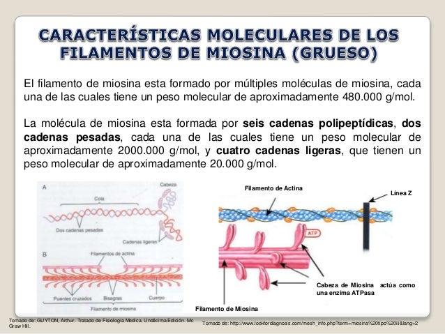 Caracteristicas de los filamentos de actina y miosina for Que significa molecula