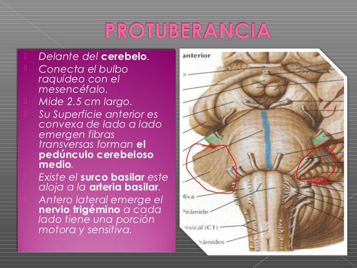 Expo sistema nervioso central