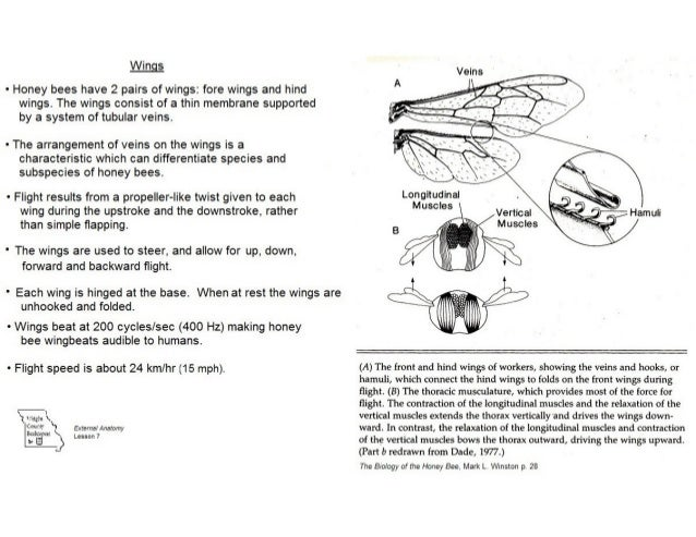 Contemporary Anatomy Of Honey Bee Images - Anatomy And Physiology ...
