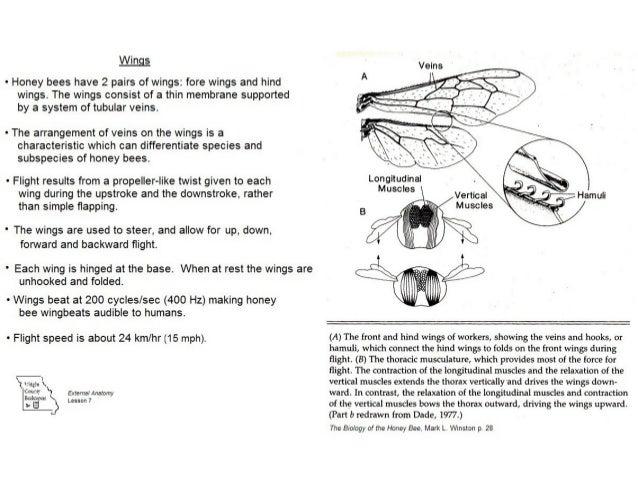 External anatomy of the honey bee