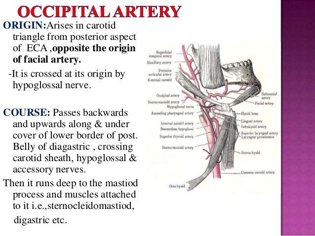 Trapezius muscle anatomy