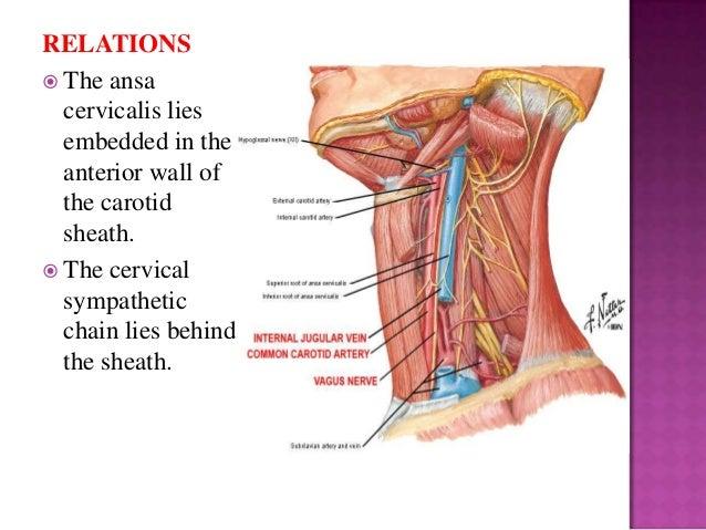 external carotid artery, Human Body