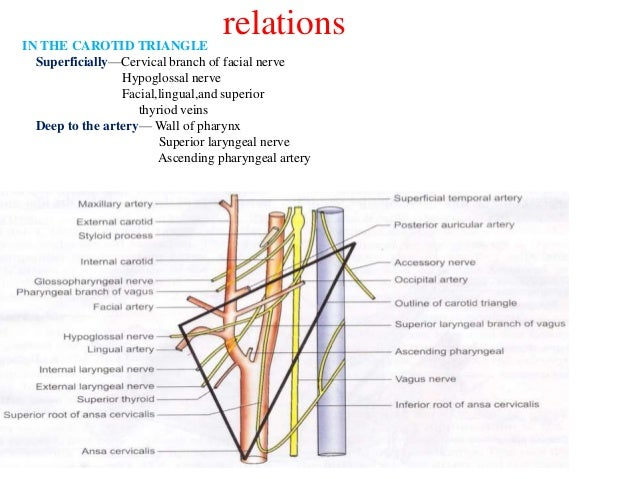External carotid artery, branches and ligation
