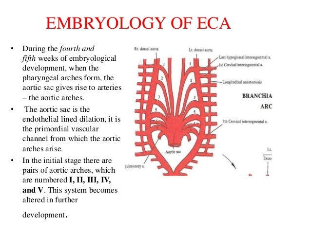 external carotid artery, branches and ligation, Human Body