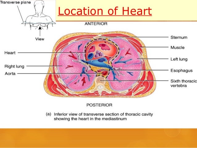 External features of heart location of heart ccuart Images