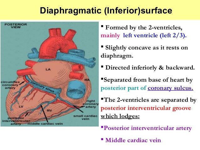 External features of heart  External featur...