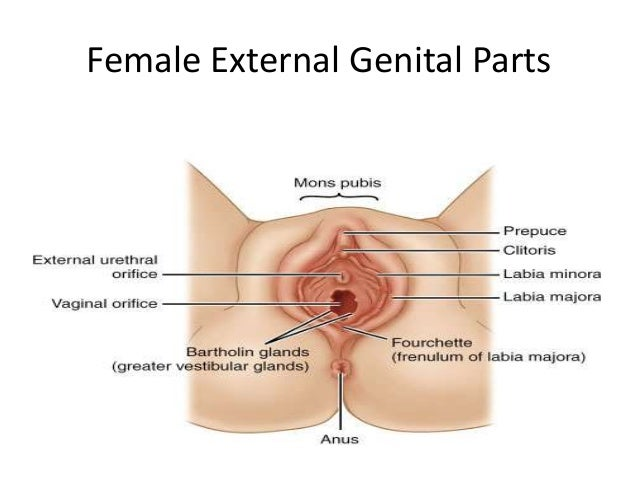 female external genitalia anatomy diagram front
