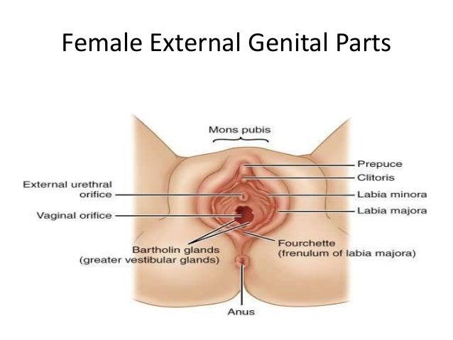 External Genitalia Parts