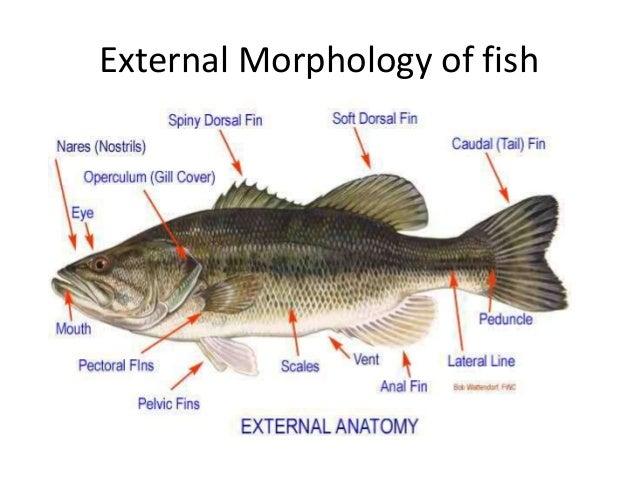 External morphology of fish
