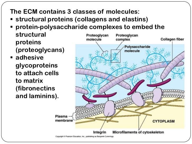 The combinatorial extracellular matrix (ECM) of bone. A range ...
