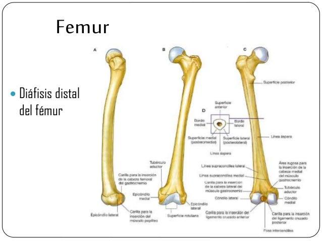 Extremidades inferiores del cuerpo humano. Anatomia