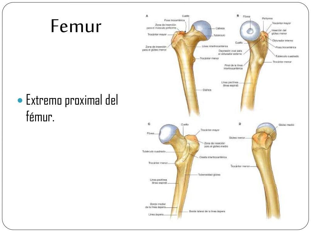 Contemporáneo Anatomía Del Fémur Proximal Galería - Anatomía de Las ...