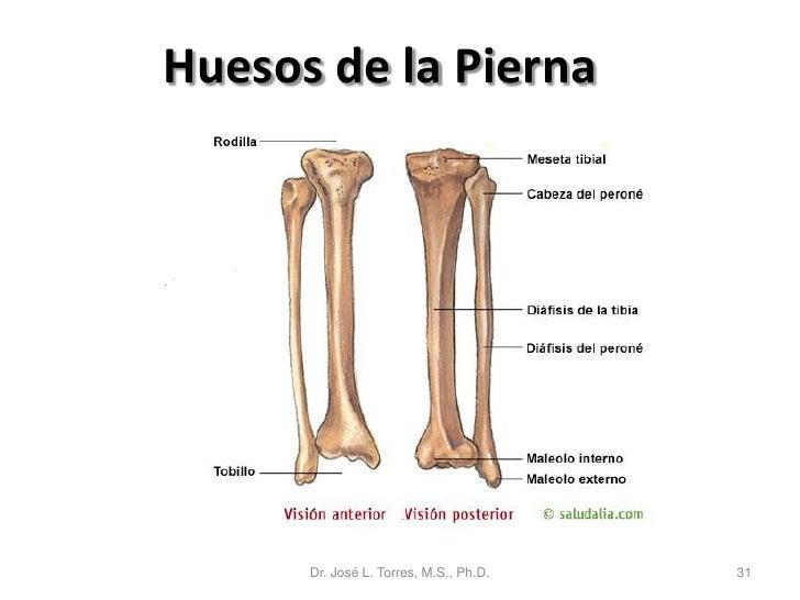 Único Hueso De La Pierna Foto - Anatomía de Las Imágenesdel Cuerpo ...