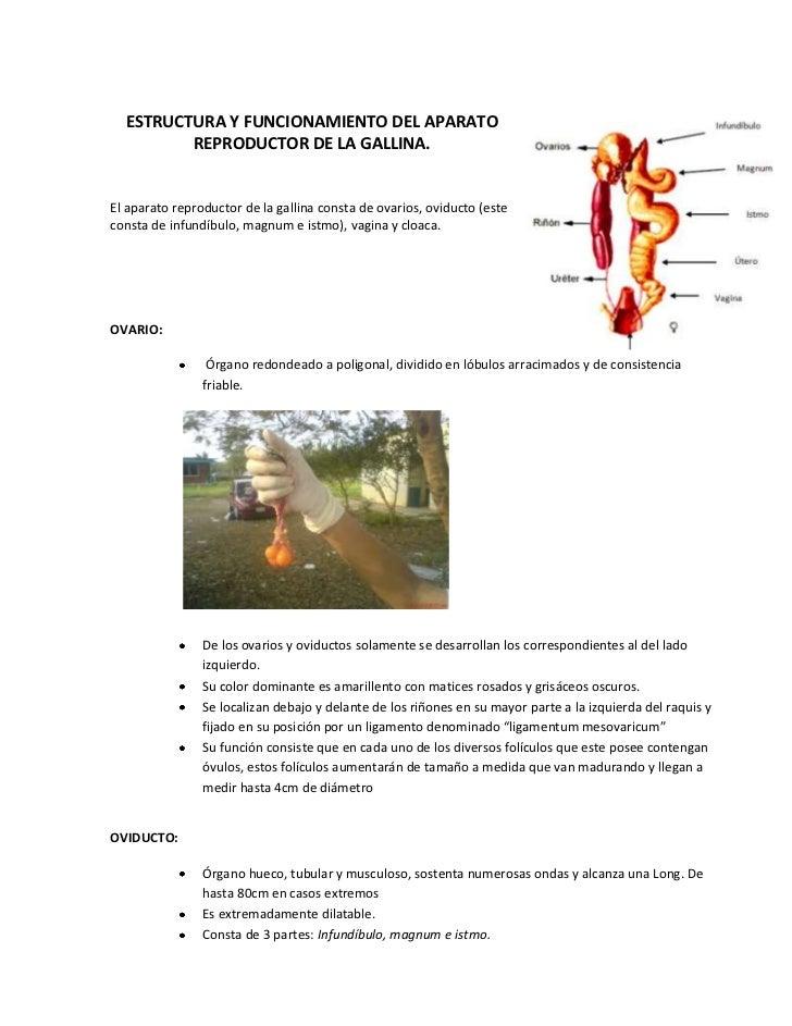 Excelente Anatomía Del Sistema Reproductor De Conejo Festooning ...