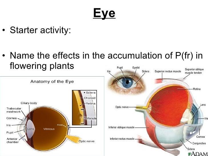 Eye <ul><li>Starter activity: </li></ul><ul><li>Name the effects in the accumulation of P(fr) in flowering plants </li></ul>
