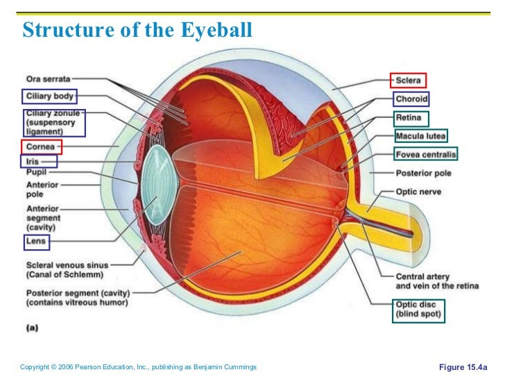 Eye structure of the eyeball figure 154a ccuart Images