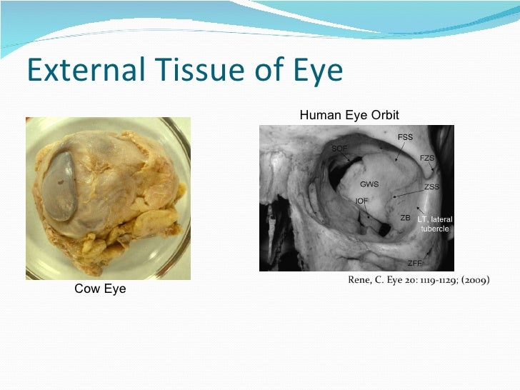 External Cow Eye Anatomy Diagram - Block And Schematic Diagrams •