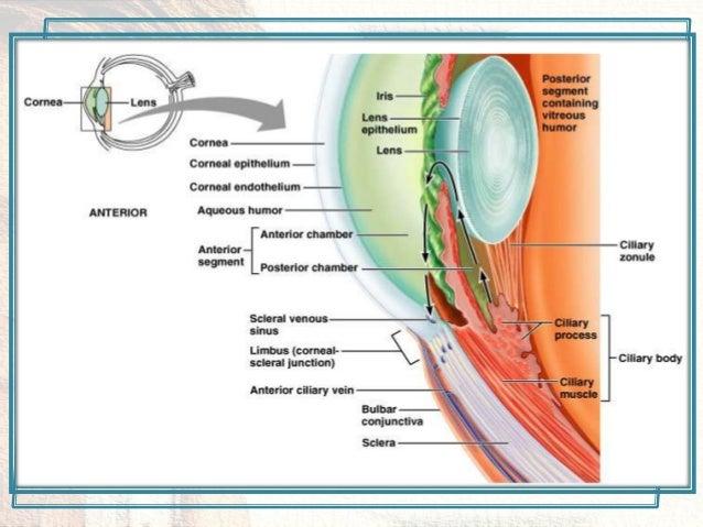 Eye anatomy 23 ccuart Images