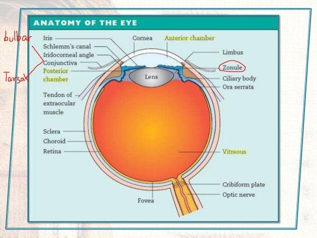 Netter eye anatomy