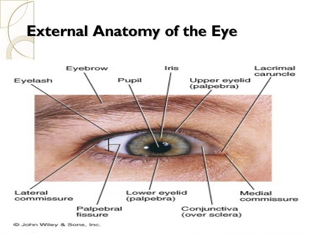 Ppt on eye anatomy external anatomy of the eyeexternal anatomy of the eye ccuart