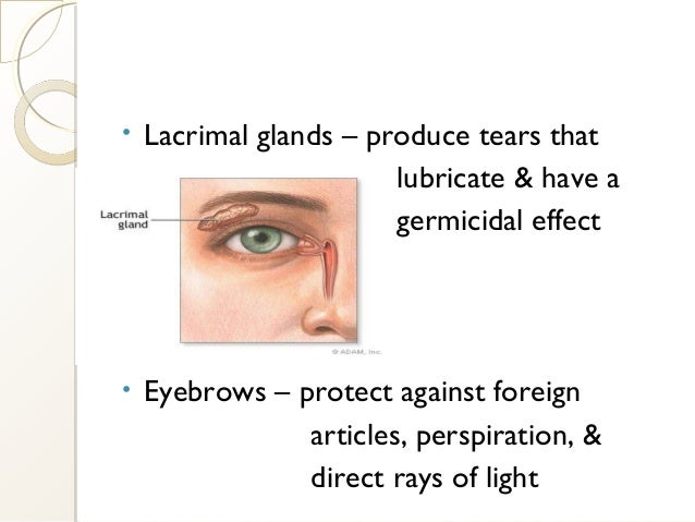 • Lacrimal glands – produce tears that lubricate & have a germicidal effect • Eyebrows – protect against foreign articles,...