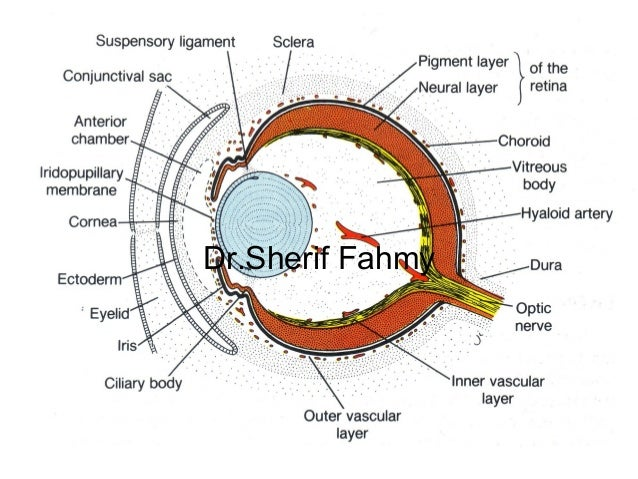 Development of eye and ear special embryology drerif fahmy ccuart Gallery