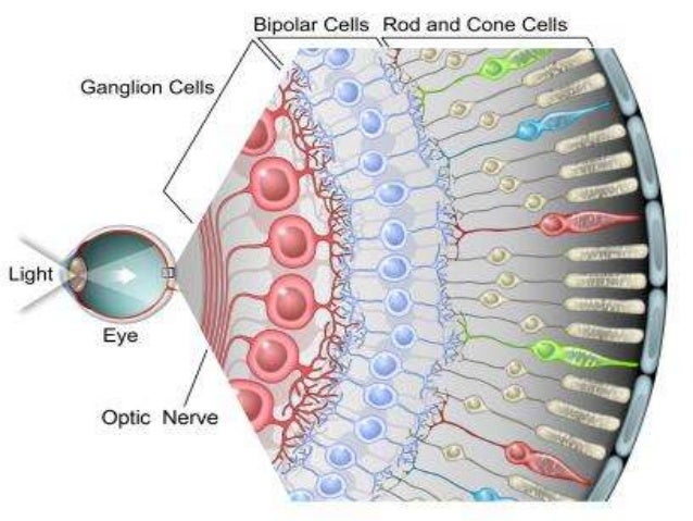 Eyeball Anatomy with histology