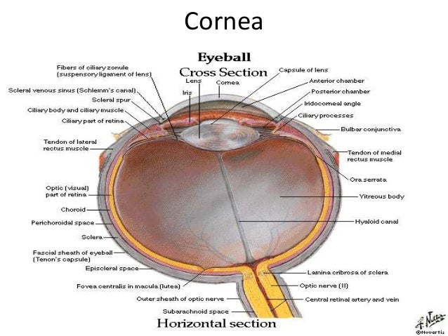 Gross Anotomy and Histology of Eyeball - Dr. Kapil Amgain   638 x 479 jpeg 87kB