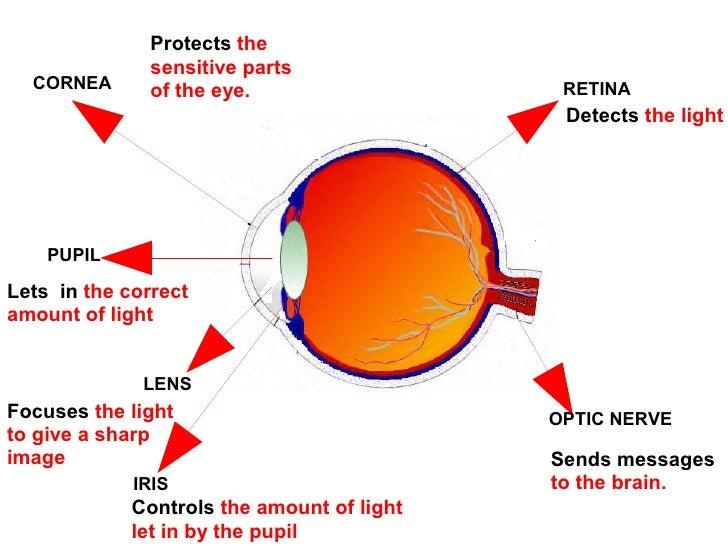 The eye pdf ccuart Choice Image