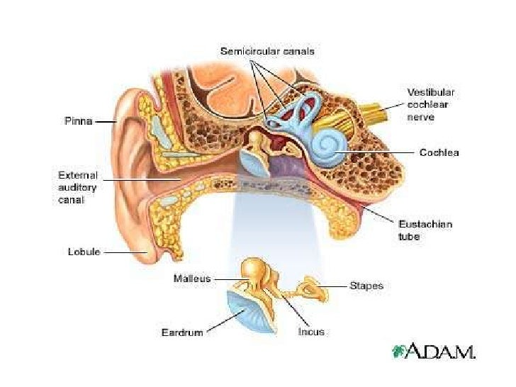 Eye ear auditory ossicles 71 ccuart Images