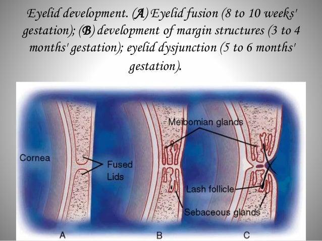 Eye Lid Anatomy on Eye Muscles Diagram