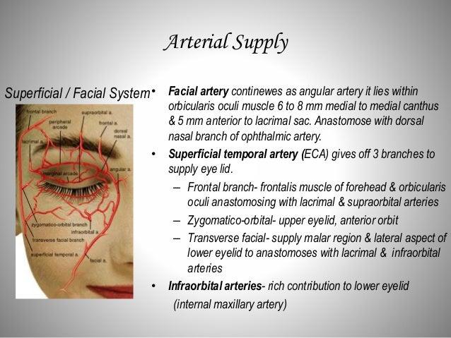 Eye Lid Anatomy